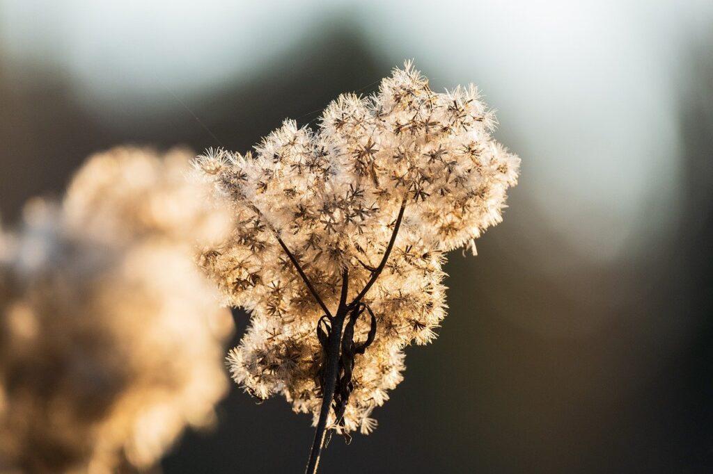 goldenrod, seed head, plant